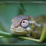 chameleon by mikescanon30d